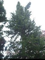 Sośnica japońska (Sciadopitys verticillata) :