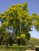 Lipa holenderska 'Wratislaviensis' (Tilia × europaea L. 'Wratislaviensis') :