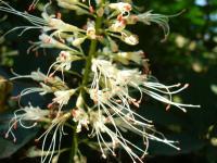 Kasztanowiec drobnokwiatowy (Aesculus parviflora) : 13.07.2011 kwiaty