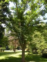 Korkowiec amurski (Phellodendron amurense) : 5.08.2011