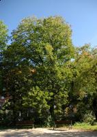 Leszczyna turecka (Corylus colurna) : 29.08.2011