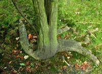 Klon śniady (Acer rufinerve) : 29.08.2011