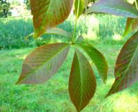Kasztanowiec (Aesculus sp.) : 31.08.2011