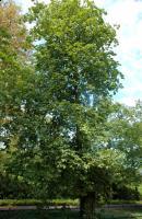Kasztanowiec czerwony (Aesculus x carnea) : 30.08.2011