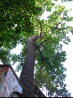 Dąb szypułkowy (Quercus robur) : 2011.09.20