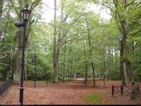 Buk pospolity (Fagus sylvatica) : 2011.09.24 - grupa drzew będąca pomnikami przyrody