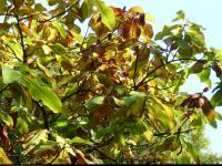 Magnolia parasolowata (Magnolia tripetala) : Owoce 2011.10.01