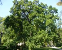 Wiązowiec zachodni (Celtis occidentalis) : 1.09.2011