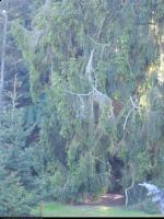 Świerk pospolity odm. płacząca (Picea abies 'Pendula') : 2011.10.02