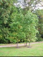 Dąb węgierski (Quercus frainetto) : 2011.10.02