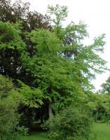 Grujecznik japoński (Cercidiphyllum japonicum) : 30.08.2011