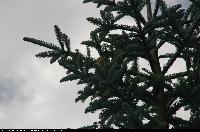 Jodła szlachetna (Abies procera) : Szyszka