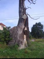 Dąb (Quercus) :