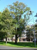 Dąb kaukaski (Quercus macranthera FISCH. et MAY ) : Widoczne obumierające gałęźie 2011.10.17