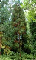 Szydlica japońska (Cryptomeria japonica) : 29.08.2011