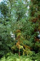 Kuningamia chińska (Cunninghamia lanceolata) : 29.08.2011