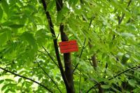 Dwuskrzydlak chiński (Dipteronia sinensis) : 29.08.2011