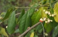 Trzmielina fortune'a (Euonymus fortunei var. radicans) :