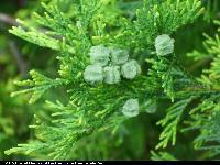 Cyprysik żywotnikowaty odm. zółta (Chamaecyparis thyoides 'Lutea') : Szyszki (2008.07.17)