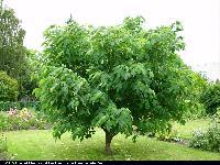 Papierówka chińska (Broussonetia papyrifera) : Drzewo (2008.07.17)