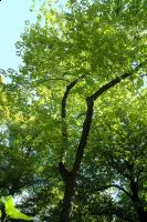Ośnieża czteroskrzydła odm. górska (Halesia carolina var. monticola) : 30.08.2011