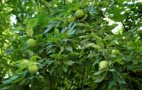 Żółtnica pomarańczowa (Maclura pomifera) : owocostany; 29.08.2011