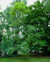 Orzech ajlantolistny odm. sercowata (Juglans ailantifolia 'Cordiformis') : 29.08.2011