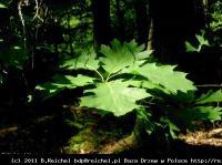 Dąb czerwony (Quercus rubra) : Liście