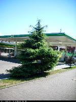 Cedr himalajski (Cedrus deodara) : Drzewo (2008.07)