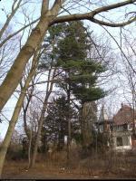 Sosna koreańska (Pinus koraiensis) : 2012.03
