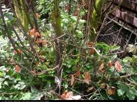 Laurowiśnia wschodnia (Laurocerasus officinalis) : Odrosty z szyjki korzeniowej 2012.07.22
