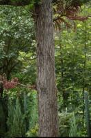 Kryptomeria japońska (Cryptomeria japonica) : Pień (3 sierpnia 2012)