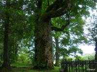 Klon jawor (Acer pseudoplatanus ) :