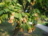 Klon tatarski (Acer tataricum) :