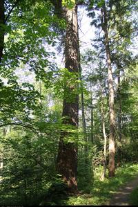 Daglezja zielona (Pseudotsuga menziesii) : Jedno ze starszych drzew. Lokalizacja: Trzeba przejść pod mostkiem pod torami kolejki (idąc na wschód) i skręcić w lewo, kiedy będzie przejście przez tor saneczkowy.
