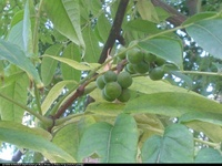 Korkowiec amurski (Phellodendron amurense) : Owoce 2012.09