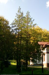 Cyprysik groszkowy (Chamaecyparis pisifera) : Drzewa 2012.09.29