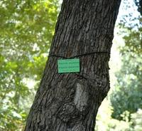 Magnolia drzewiasta (Magnolia acuminata) :