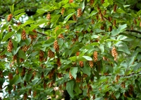 Chmielograb europejski (Ostrya carpinifolia) :