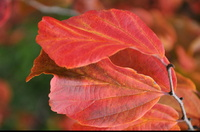 Parocja perska  (Parrotia persica ) :