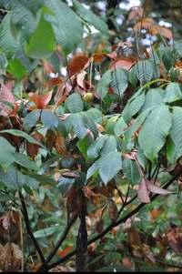 Kasztanowiec drobnokwiatowy (Aesculus parviflora) : Owocuje ale niestety nasion bardzo mało w porównaniu z ilością kwiatów