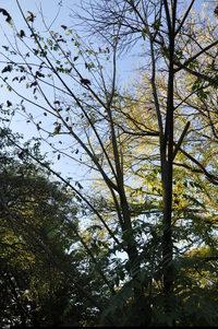 Dwuskrzydlak chiński (Dipteronia sinensis) :