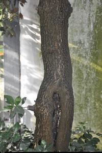 Dąb ostrokrzewowy (Quercus ilex) :