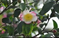 Kamelia (Camellia sasanqua ) :