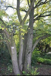 Grujecznik japoński (Cercidiphyllum japonicum) :
