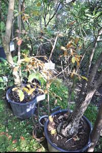 Dąb libański (Quercus libani) :
