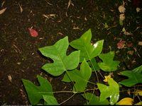 Tulipanowiec chiński (Liriodendron chinensis) : Liście