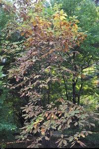 Magnolia parasolowata (Magnolia tripetala) :