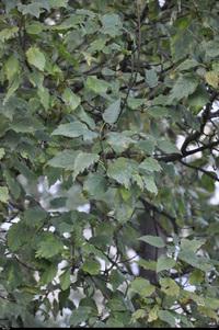 Jesion wyniosły f. jednolistkowa  (Fraxinus excelsior f. diversifolia) :