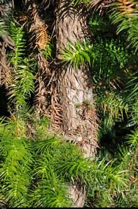 Stroigła chińska, kuningamia lancetowata (Cunninghamia lanceolata) :